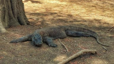 Adult male Komodo dragon, Komodo National Park, Indonesia